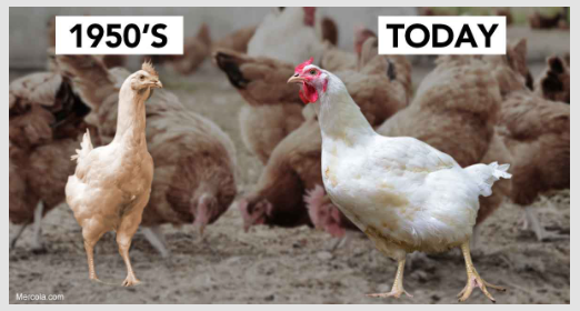 Chickens today and yesterday