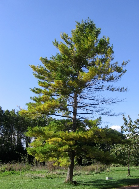 Pine tree with wireless signal damage